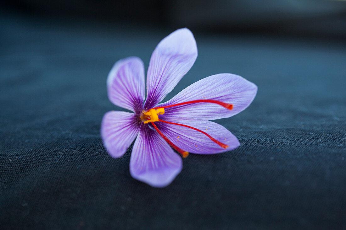 A purple saffron flower (crocus sativus)
