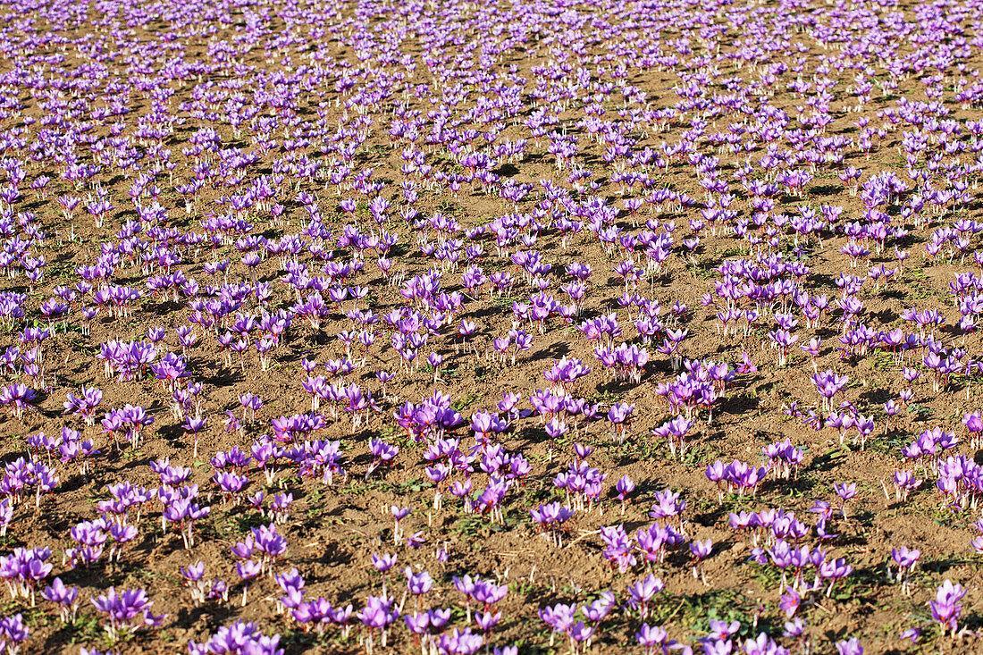 Purple Greek saffron flowers (crocus sativus) in a field