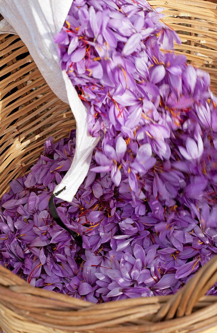 Harvested Greek saffron being added to a wooden basket