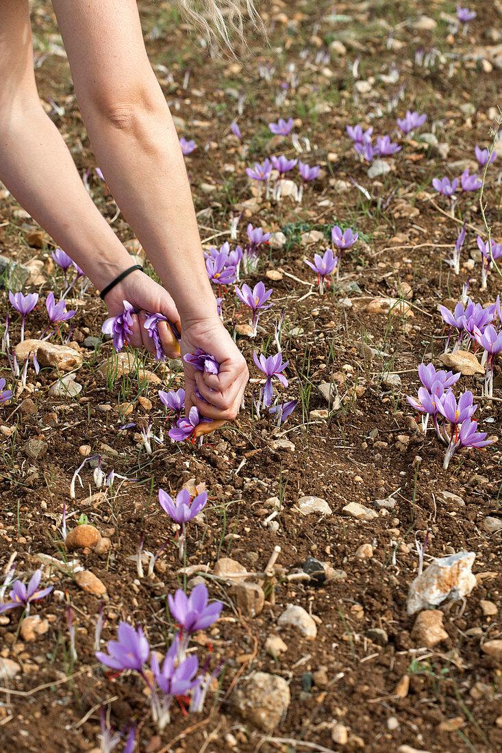 Woman harvesting Greek saffron