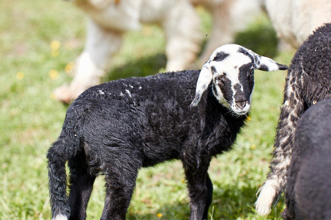 Alpines Steinschaf sheep, Wimbachklamm, Ramsau bei Berchtesgaden, Bavaria, Germany