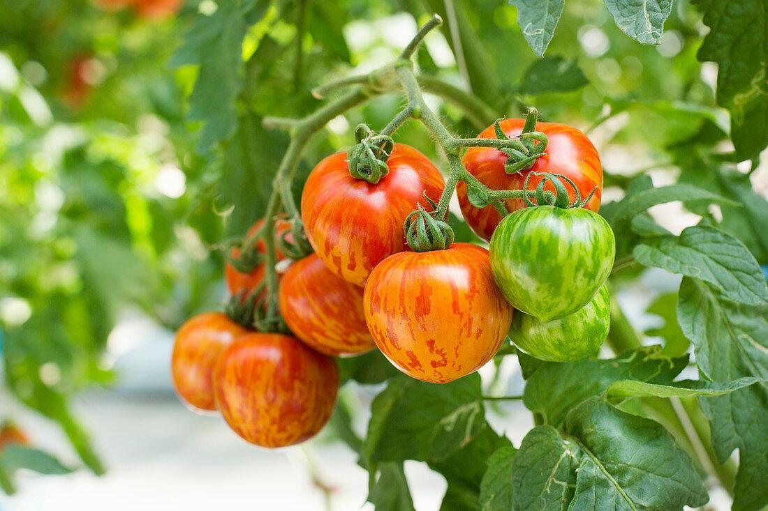 Red zebra vine tomatoes in a greenhouse