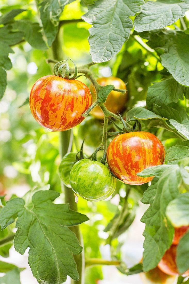 Red Zebra tomatoes on the vine