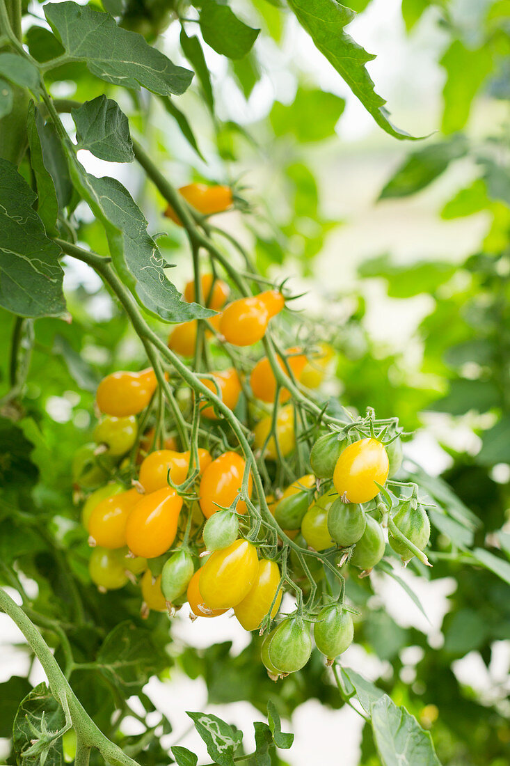 Large bunch of tomatoes in a greenhouse