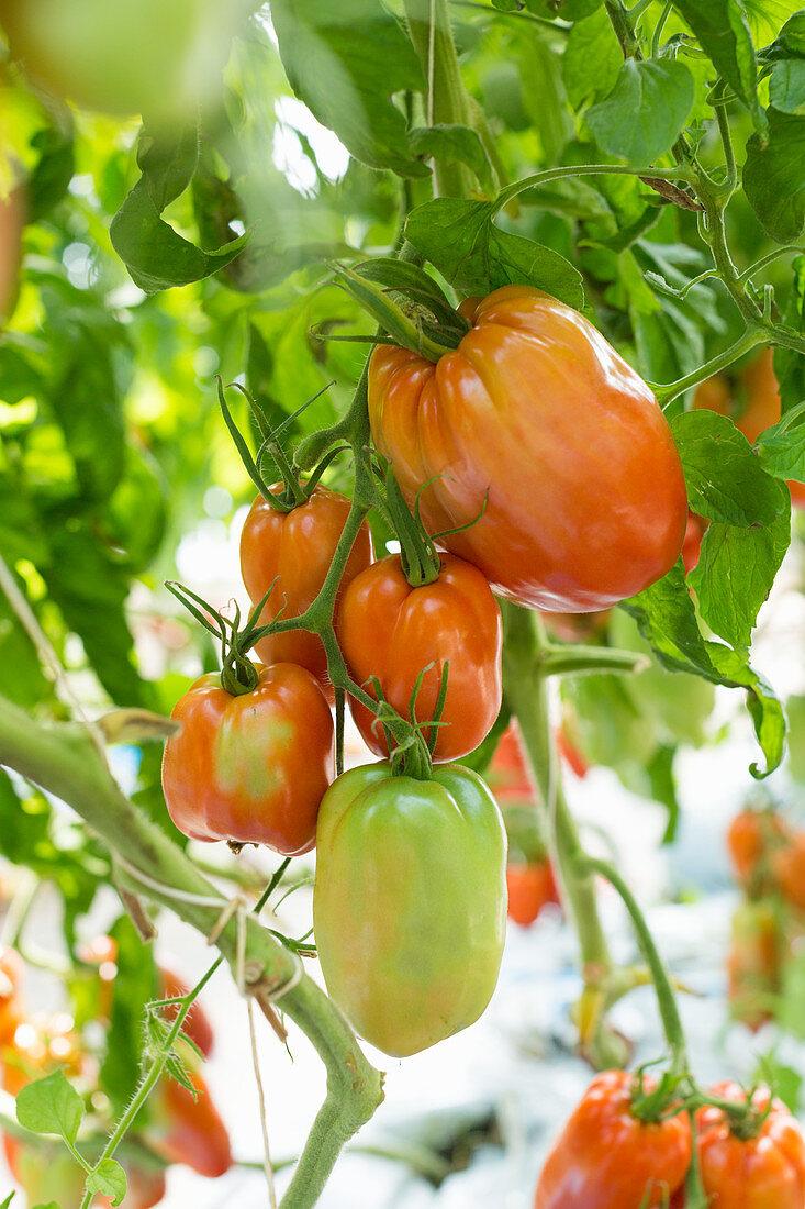 Am Strauch hängende Tomaten der Sorte Andenhorn