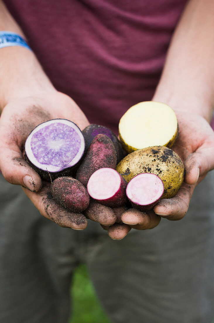 Man shows freshly harvested potatoes of the types Rote Emmalie, Avanti and St. Galler (cut)