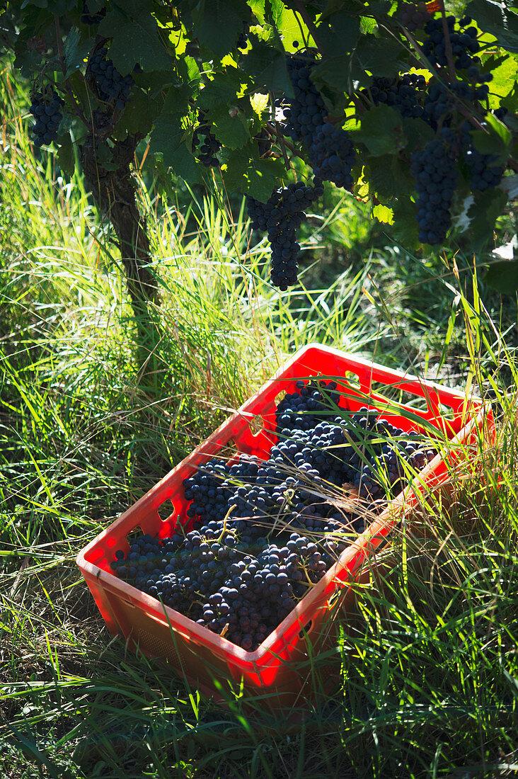 Pinot noir grape harvesting