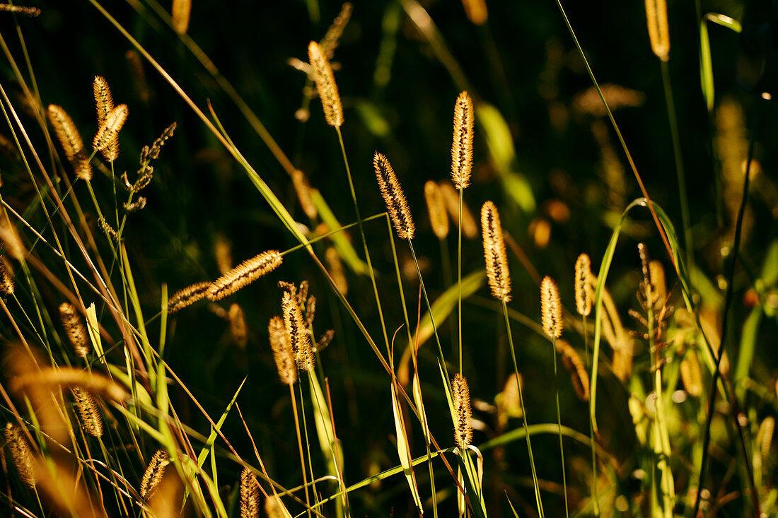 Foxtail barley in sunlight