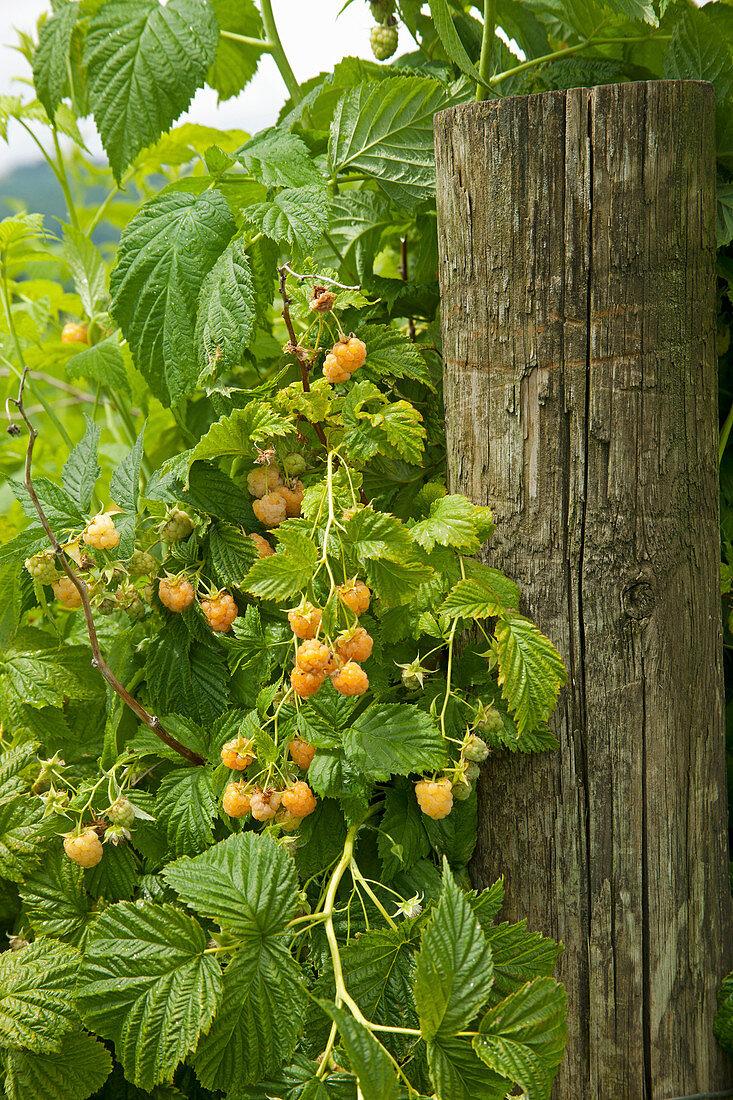 Clusters of yellow raspberries growing