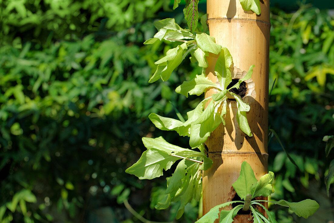Vertical planted lettuce