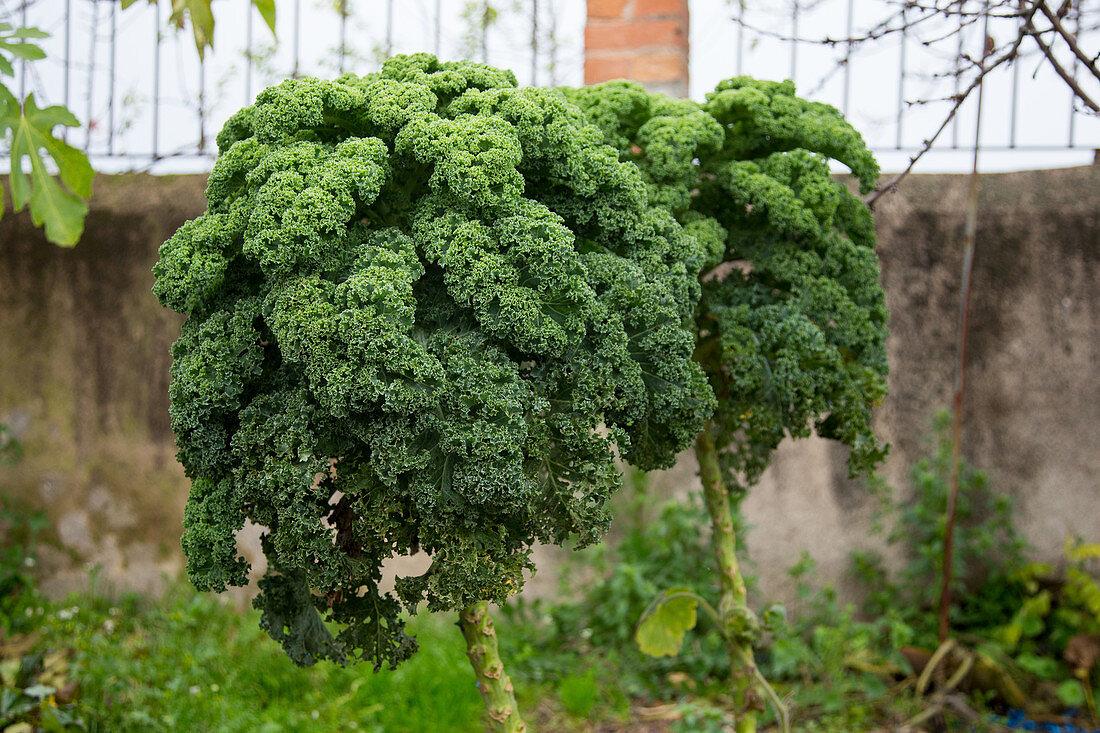 A kale plant in a vegetable garden