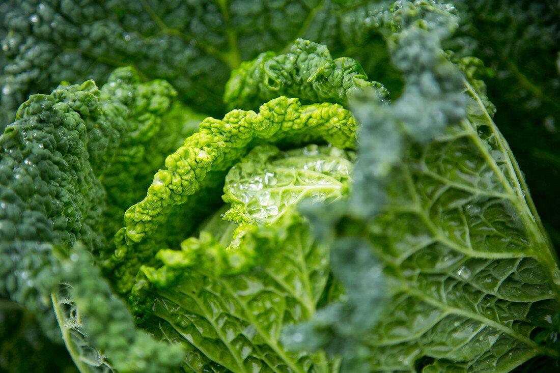 Fresh Savoy Cabbage; Close Up