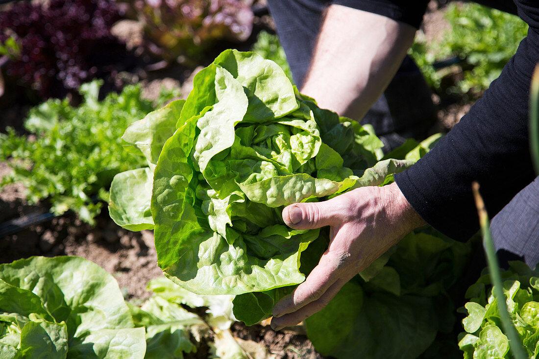 Freshly harvested lettuce
