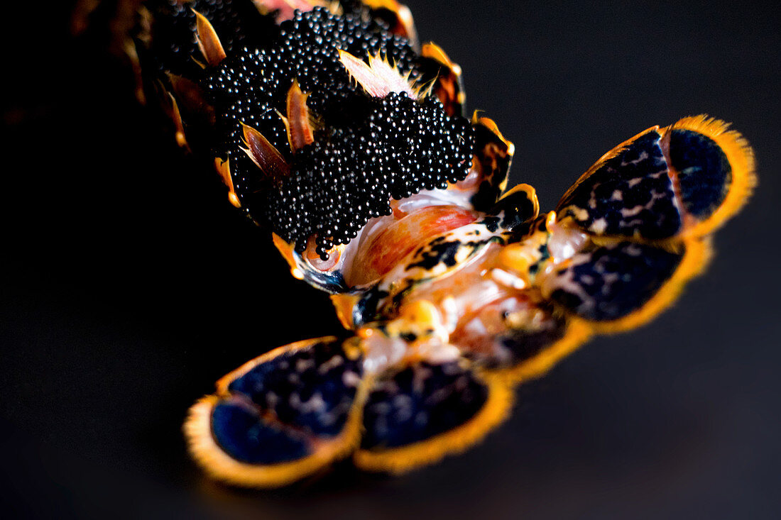 Detail of a lobster belly full of micro eggs