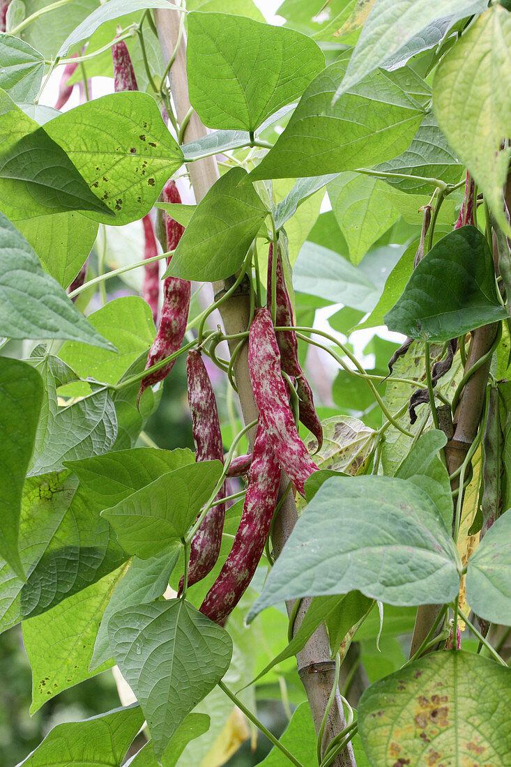 Borlottibohnen der Sorte 'Lingua di Fuoco' an der Pflanze