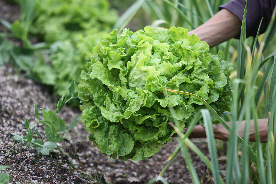 Lettuce head, being harvested from a garden bed
