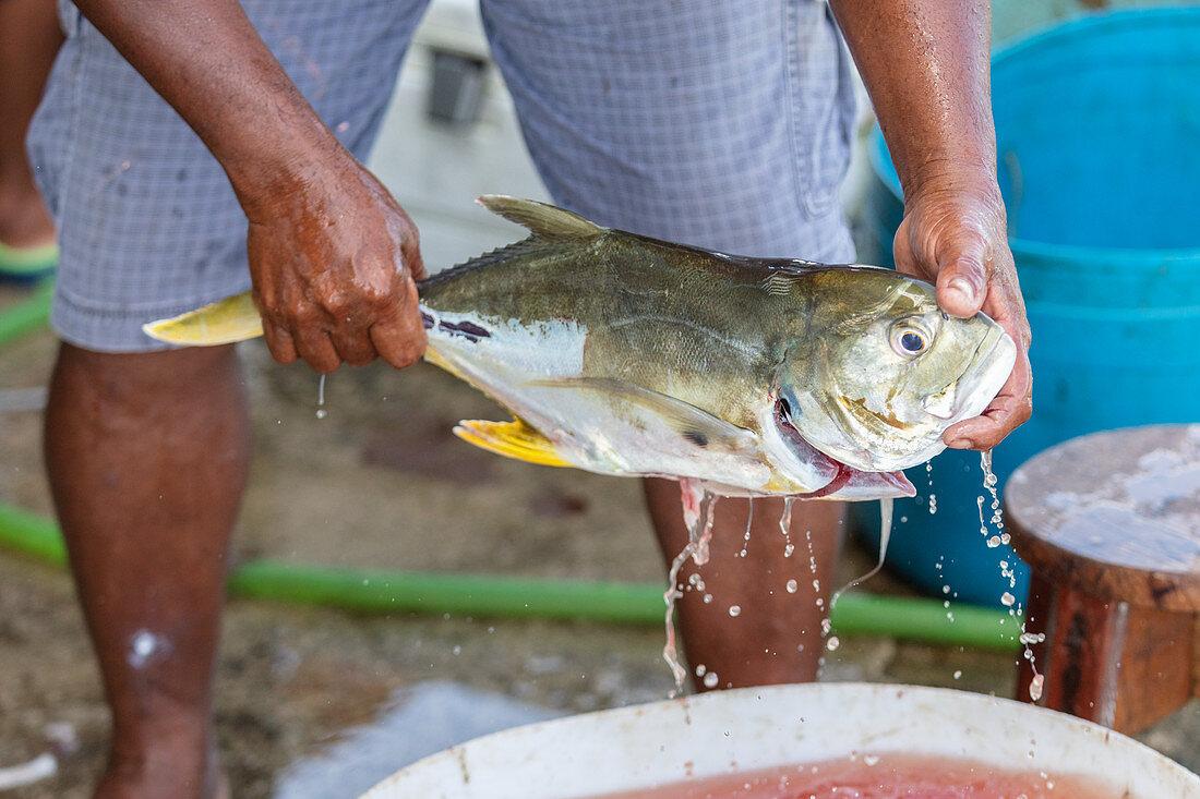 A freshly caught fish on the beach at Tambor, Nicoya Peninsula, Costa Rica, Central America