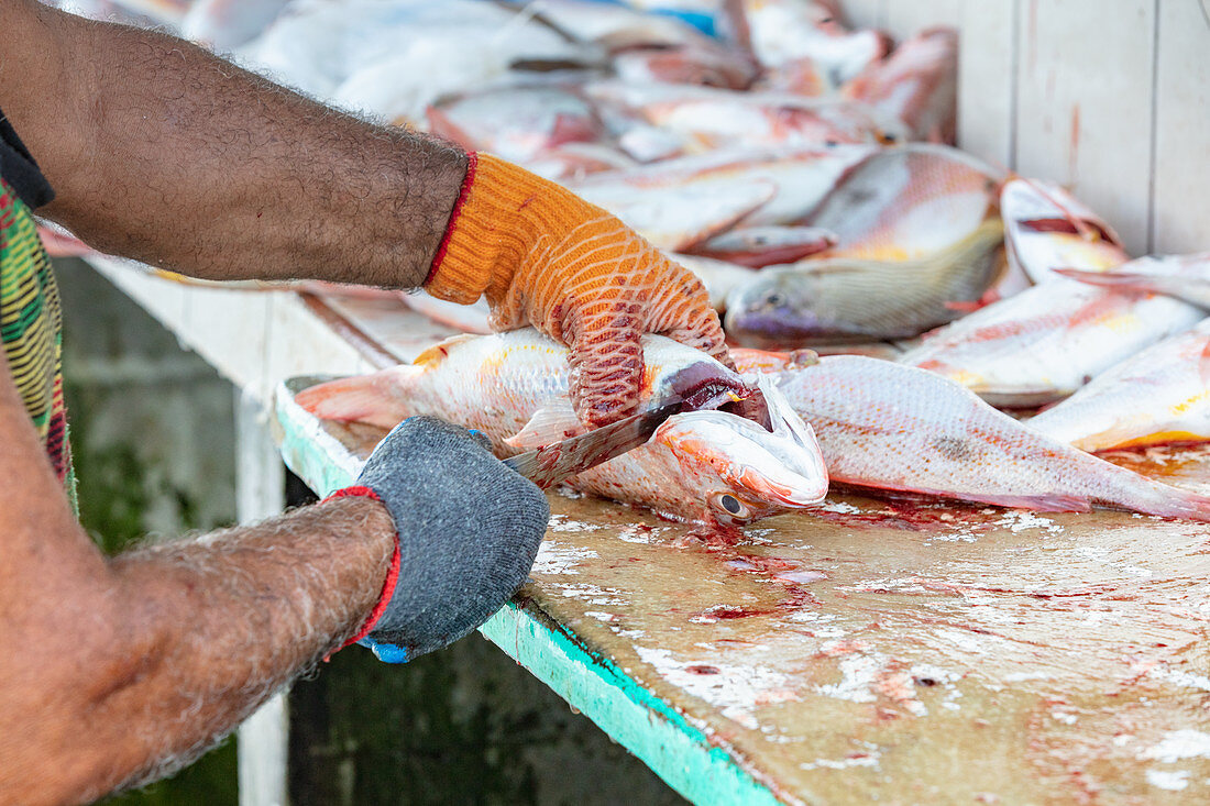 Fish being gutted on the beach at Tambor, Nicoya Peninsula, Costa Rica, Central America