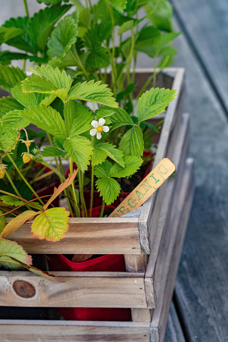 Organic strawberries in a wooden crate