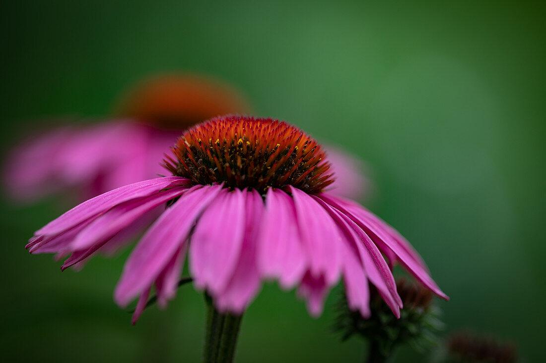 An echinacea flower outside
