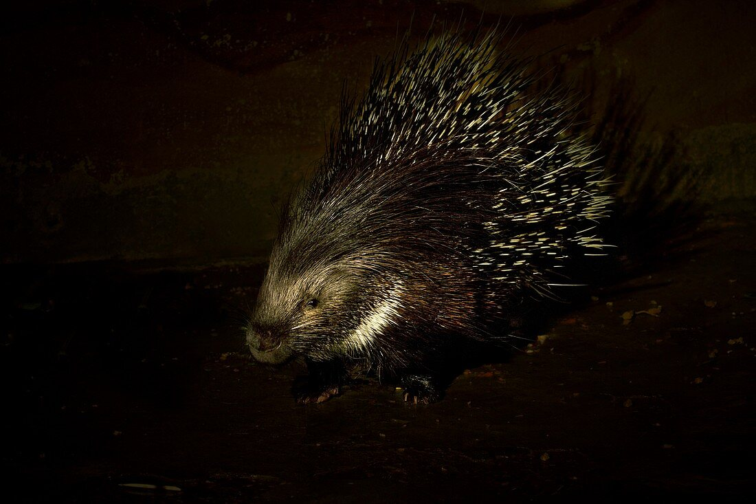 Yong Indian crested porcupine