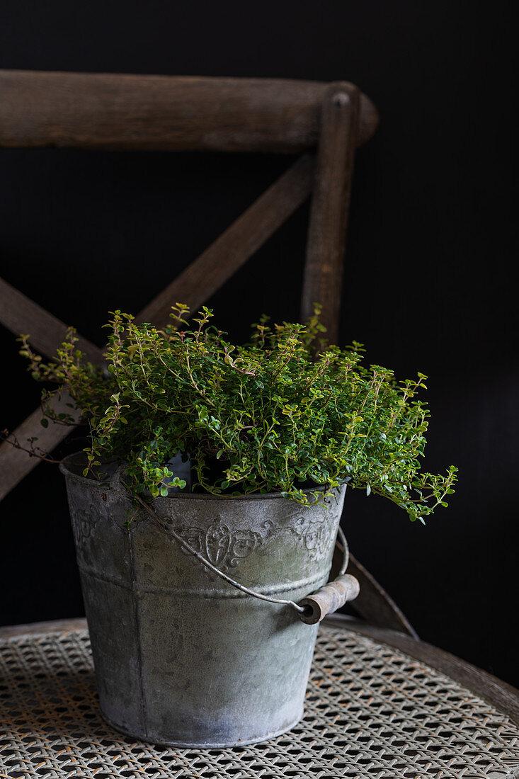 Lemon thyme in a grey bucket