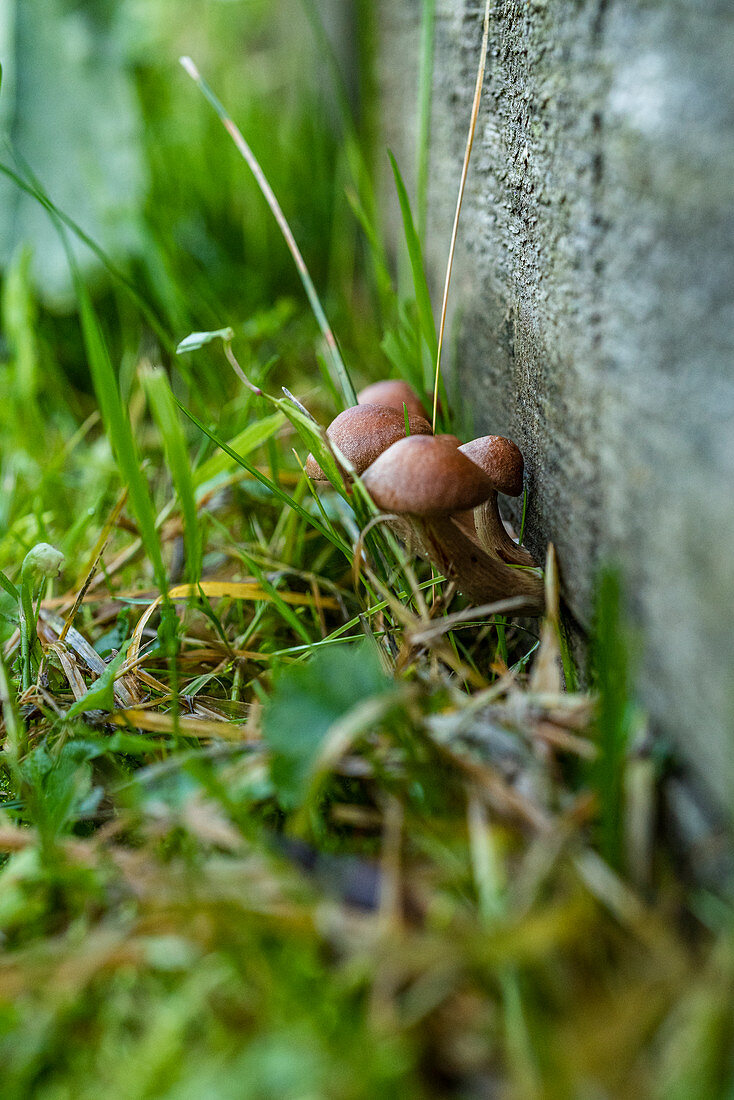 Mushrooms in the grass against a house wall