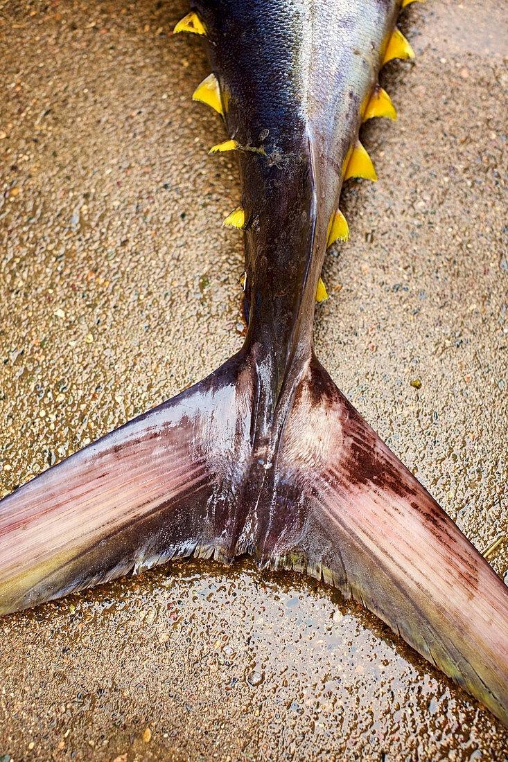 Tail of yellow fin tuna (Close up)