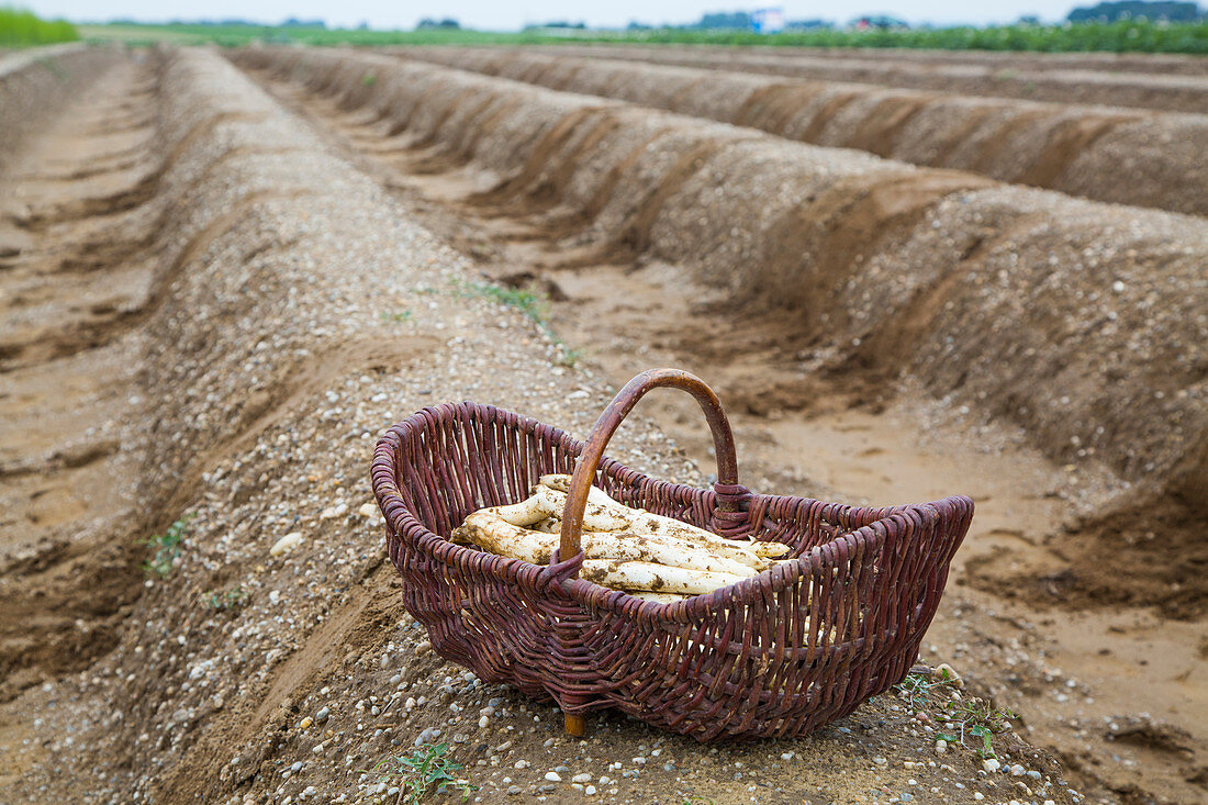 White asparagus in a basket in a field