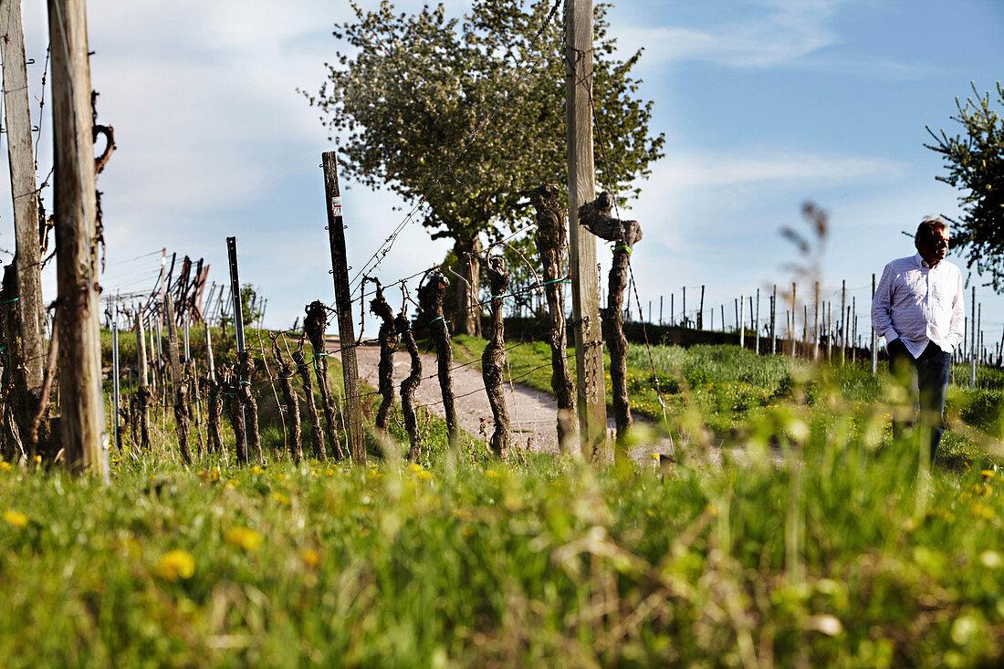 Vineyard landscape on the Rhine