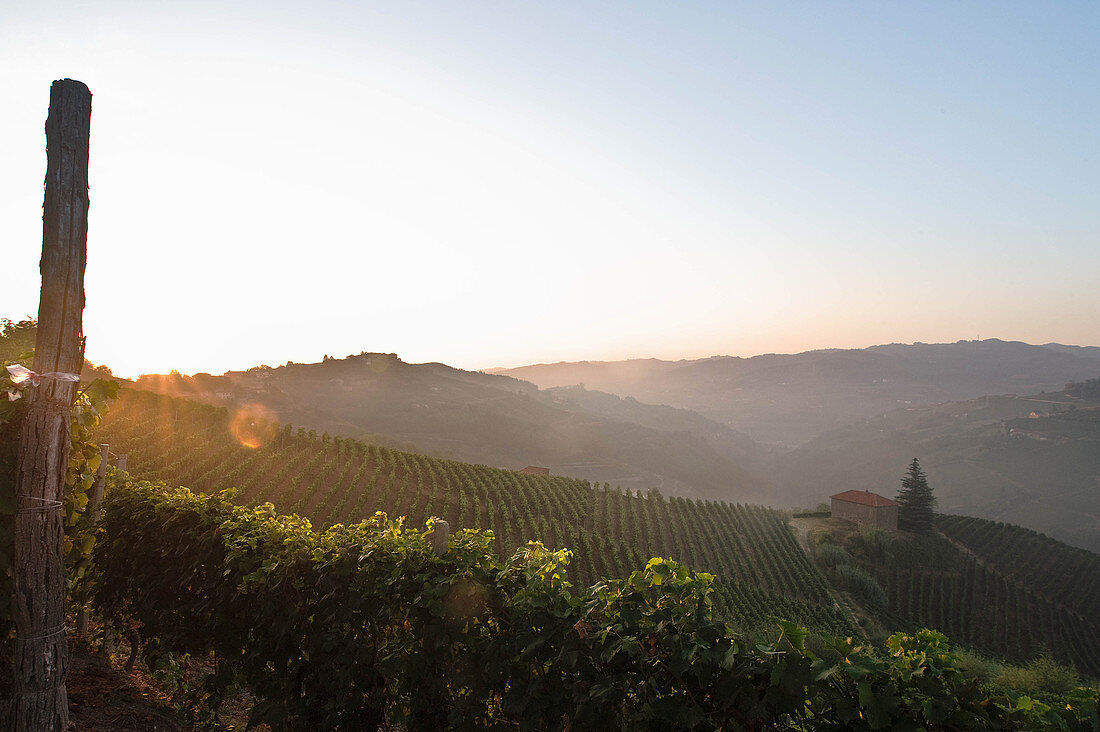Vineyard landscape belonging to the Gaja vineyard, Piedmont, Italy