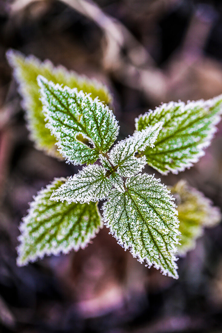 Nettles after the first frost
