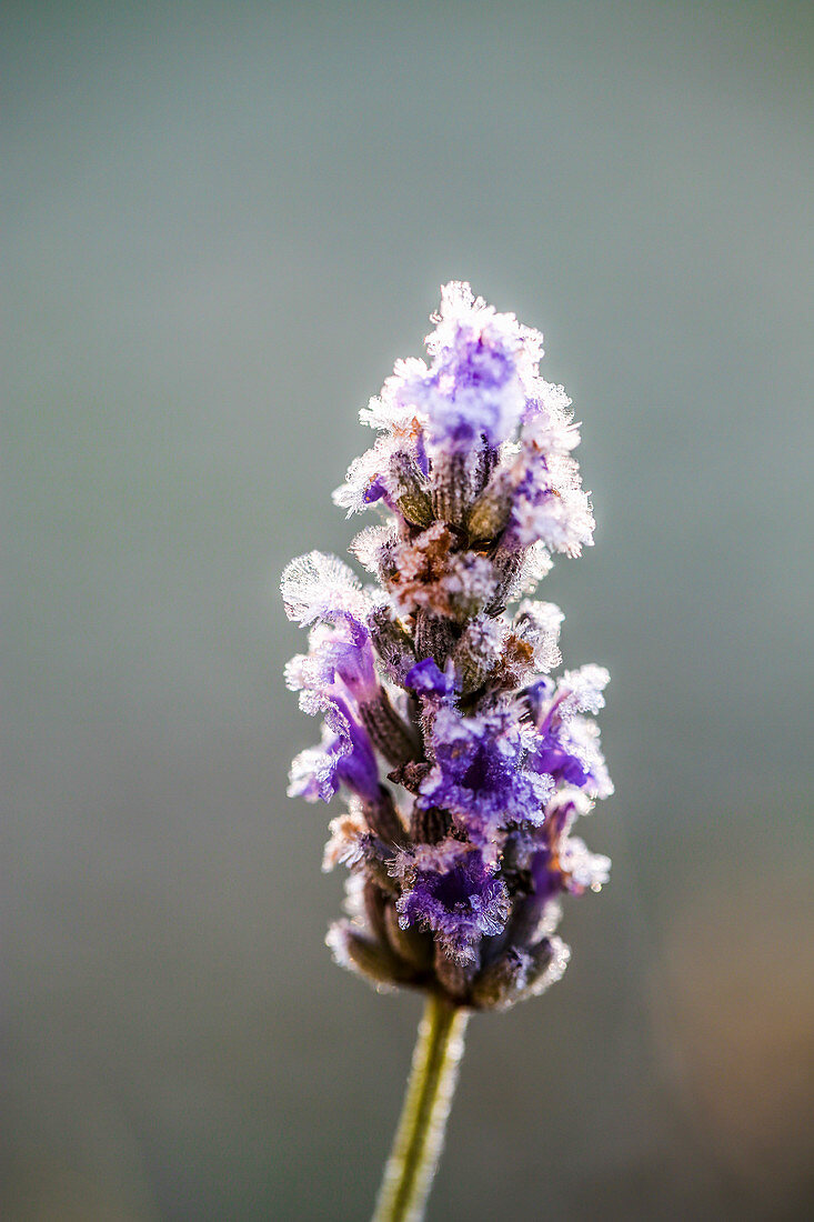 Lavender flower after the first frost