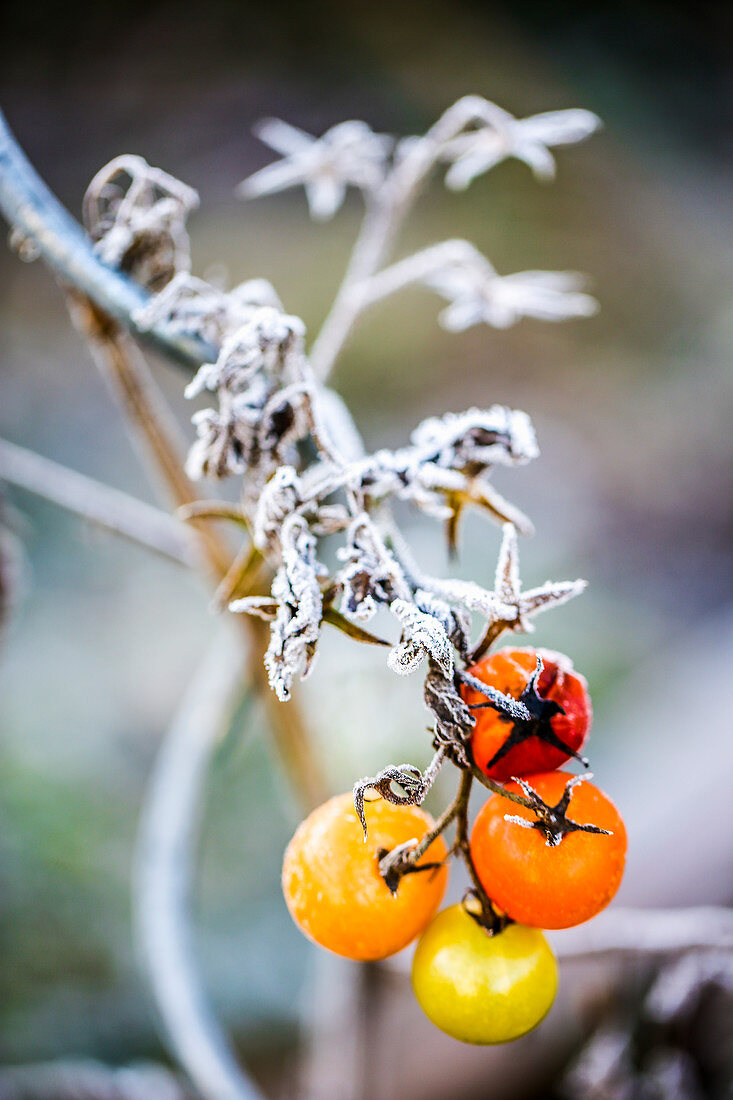 Tomatoes after the first frost