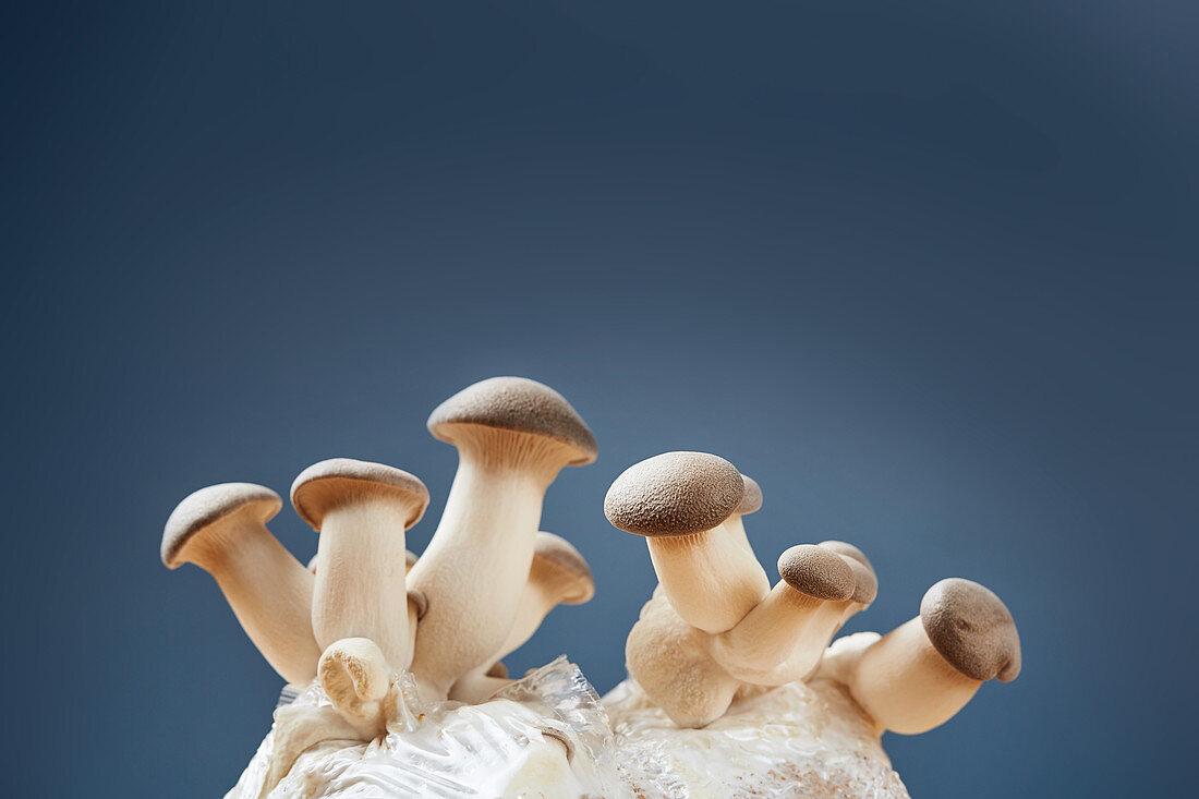 Growing herb mushrooms