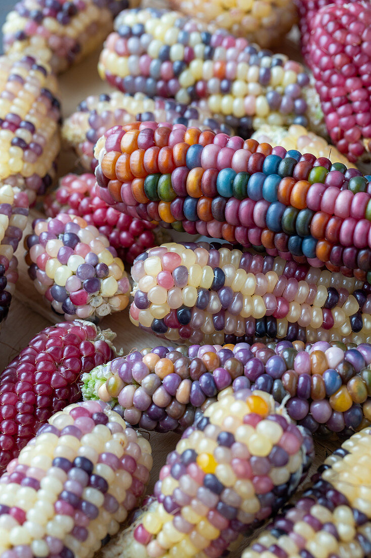 Lots of corn on the cob with colorful grains