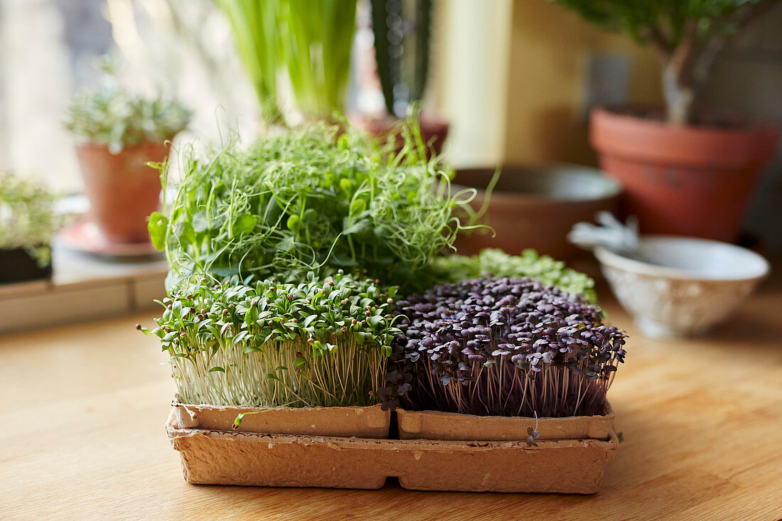 Microgreens growing in tray on wooden surface at home