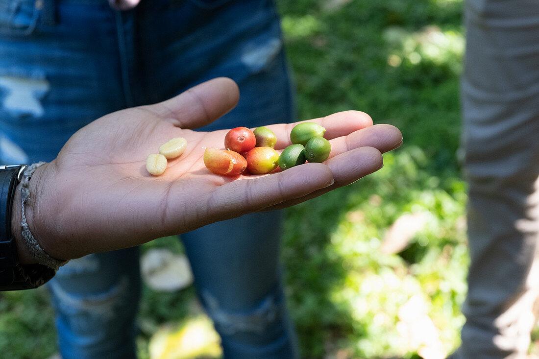 Coffee berries at a coffee plantation, Santa Bárbara, Costa Rica, Central America