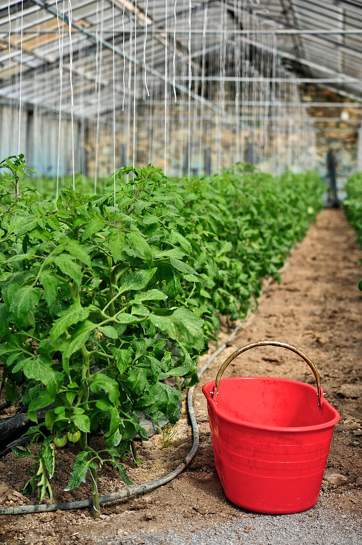 Beefsteak tomatoes growing in a greenhouse