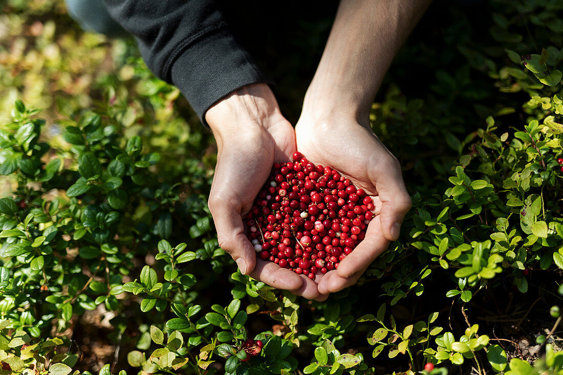 Lingonberries being gathered in a forest (Finland)