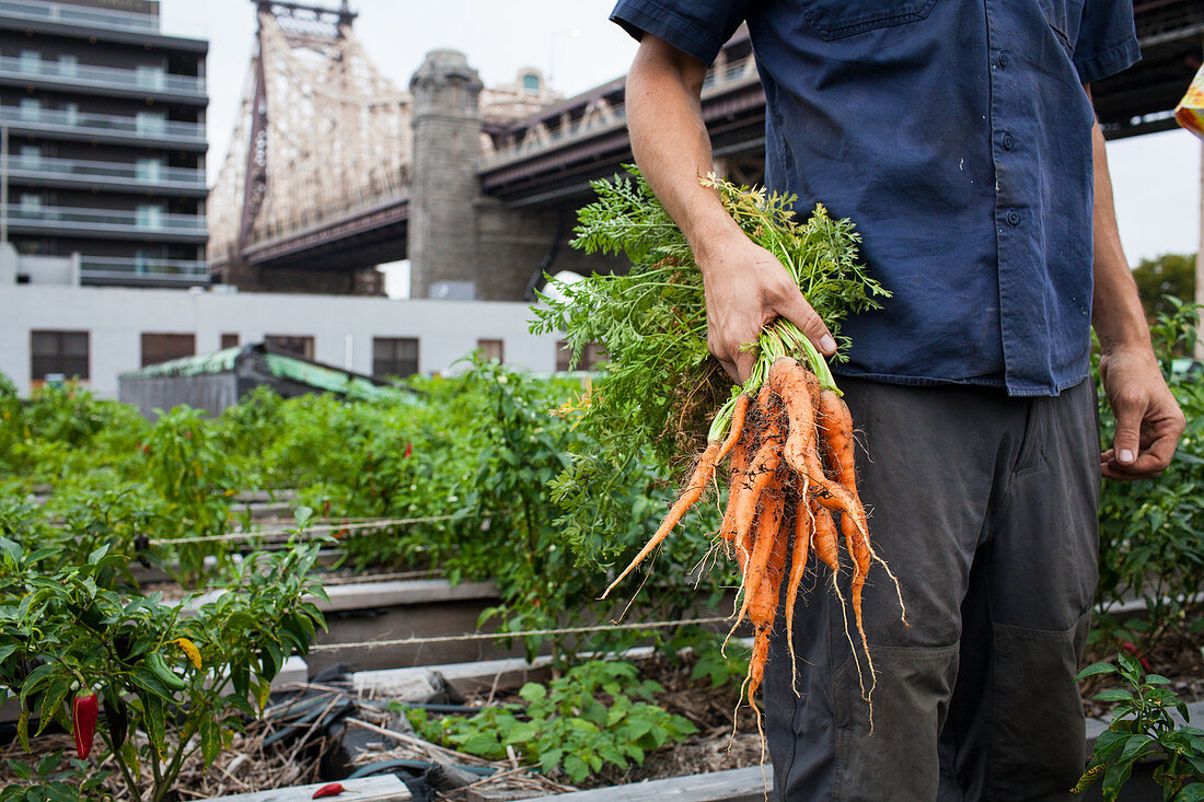 Freshly picked carrots from a rooftop farm on a former industrial site in Queens, NY