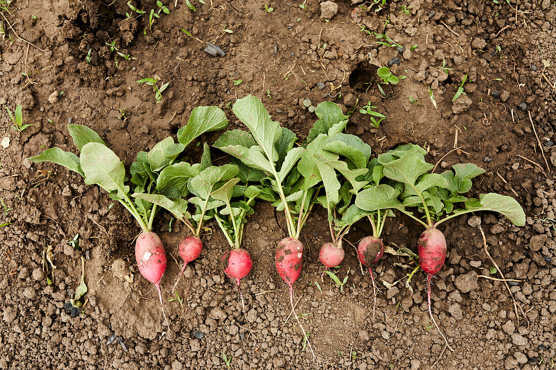 Freshly picked radishes lined up on the ground