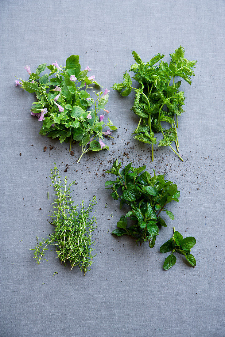 Mountain mint, curled mint, Moroccan mint and mojito mint