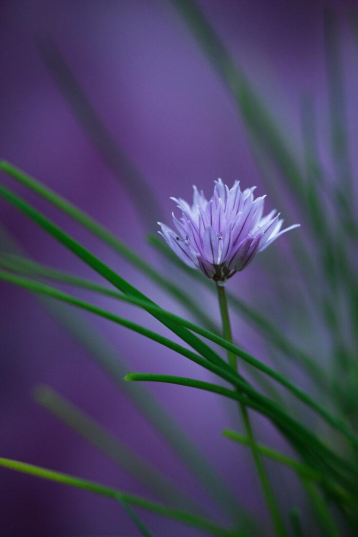 Blühender Schnittlauch (Allium schoenoprasum)