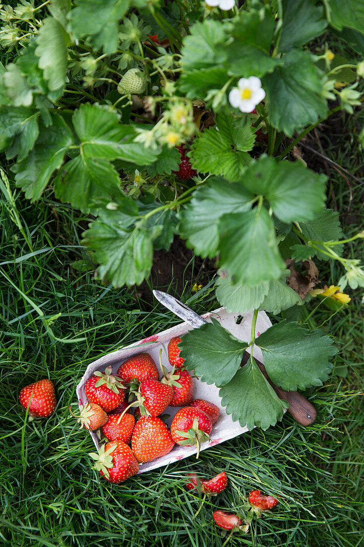 Freshly picked strawberries in a cardboard punnet on the grass