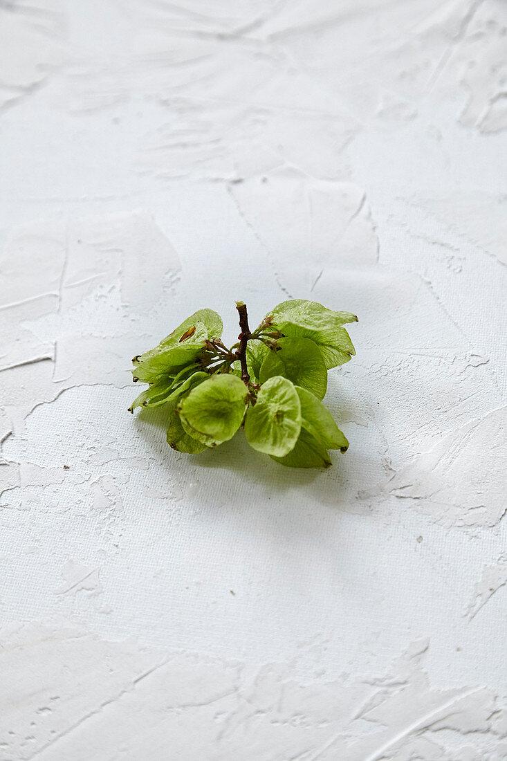 An elm sprig