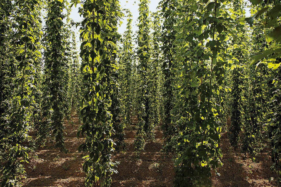 Hops – basic ingredient for making beer