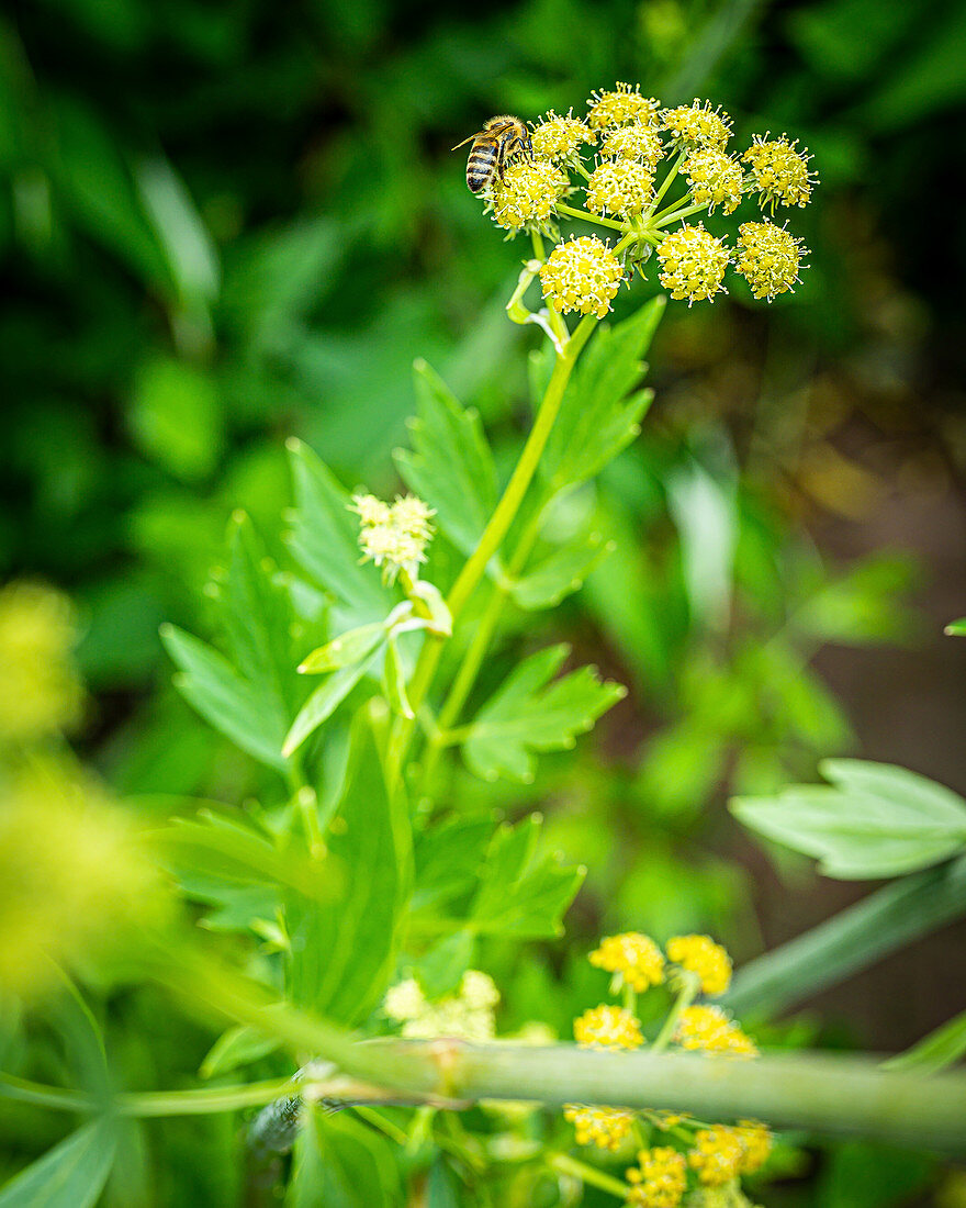 Blooming lovage with a bee