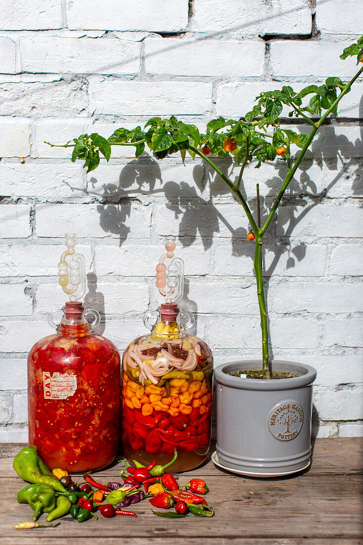 Peppers and chillis fermenting