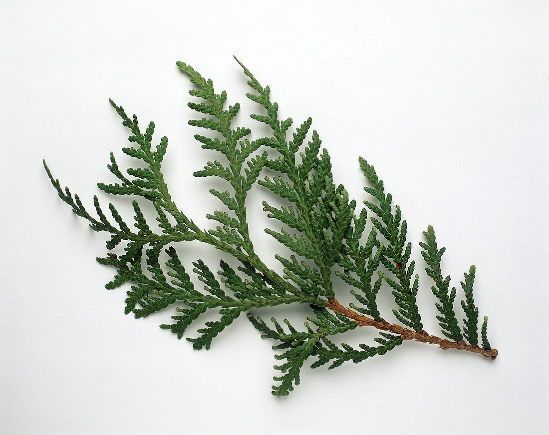 Branch of tree of life (Thuja occidentalis)